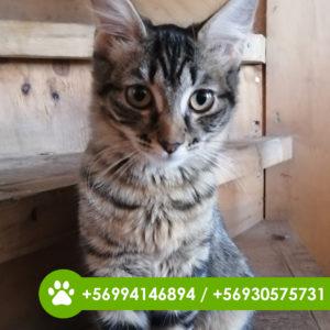 adopción-gatito-1